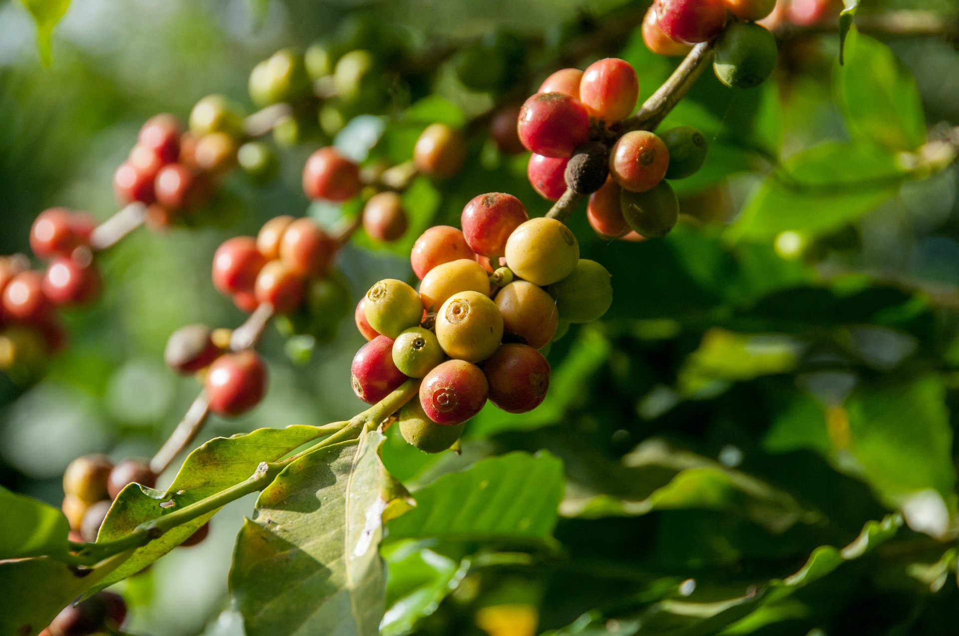 kaffeväxten